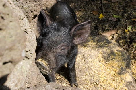 Jeju black pig. Photo courtesy Wikipedia.
